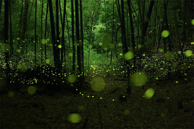 Long Exposure Photographs of Fireflies in the Forests of Nagoya City by Yume Cyan