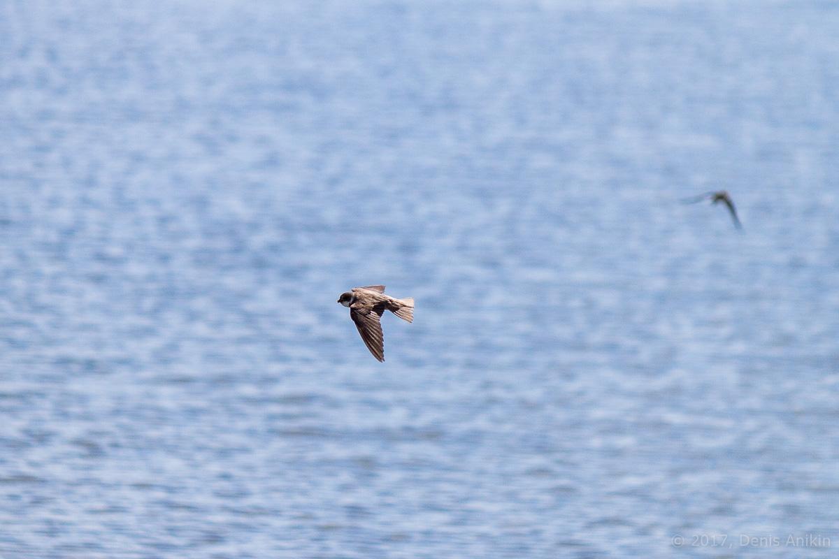 Береговая ласточка фото 8