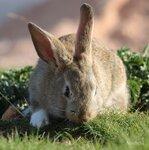 Щиплет травку серый кролик...