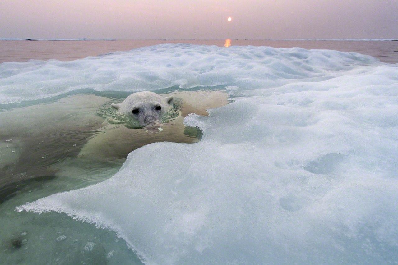 Фотографии полярного медведя на расстоянии вытянутой руки. Фотограф Paul Souders