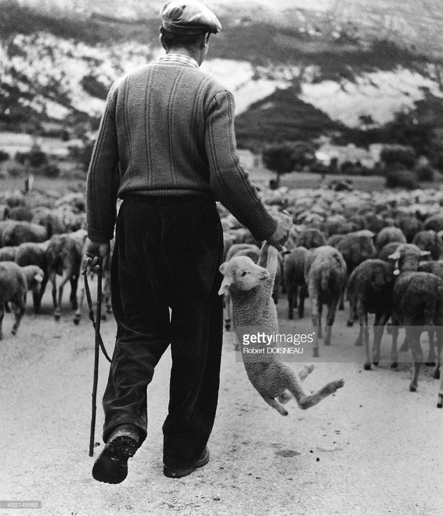 1958. Пастух держит ягненка в руке во время перегона стада. Приморские Альпы