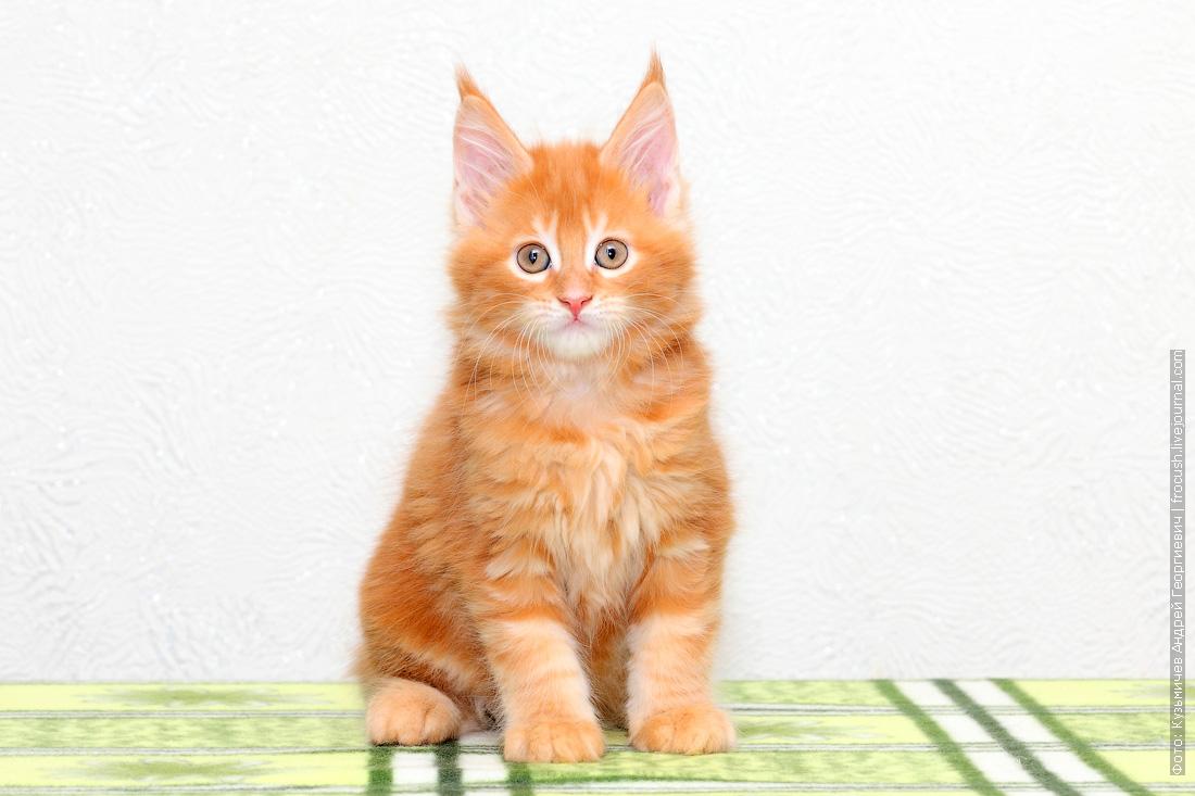 красный котенок Мейн-кун фото