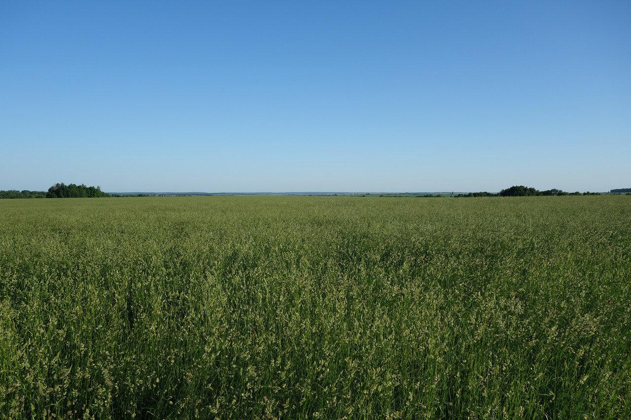 злаковое поле