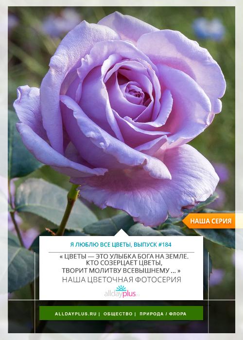Я люблю все цветы, выпуск 184 | Роза - «Королева цветов».