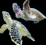 морская черепаха (12).png