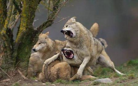 Волчья стая