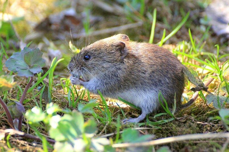 серый мышонок вылез из норки и ест листик лютика - Рыжая (лесная) полёвка (лат. Myodes glareolus)