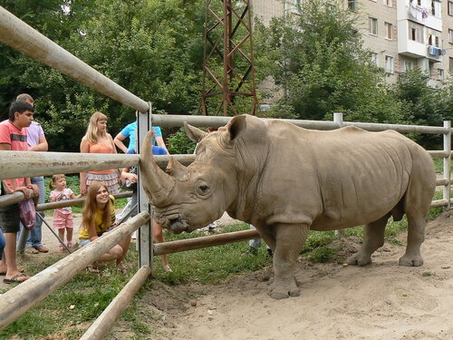 Южный белый носорог(самец Барман)