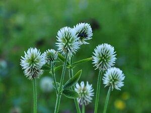 c:белые,l:очередные,соцветия - головки,околоцветник зигоморфный,лепестков 5,f:боб,l:тройчатые,l:сложные,l:по длине стебля,s:травянистые