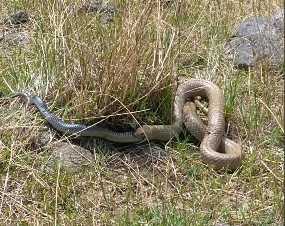 Коричневая змея сожрала черную в Австралии
