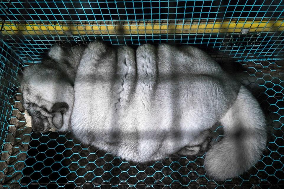 Финляндия — лидер в Европе на рынке производства песцового меха, только китайские фермы выращивают б