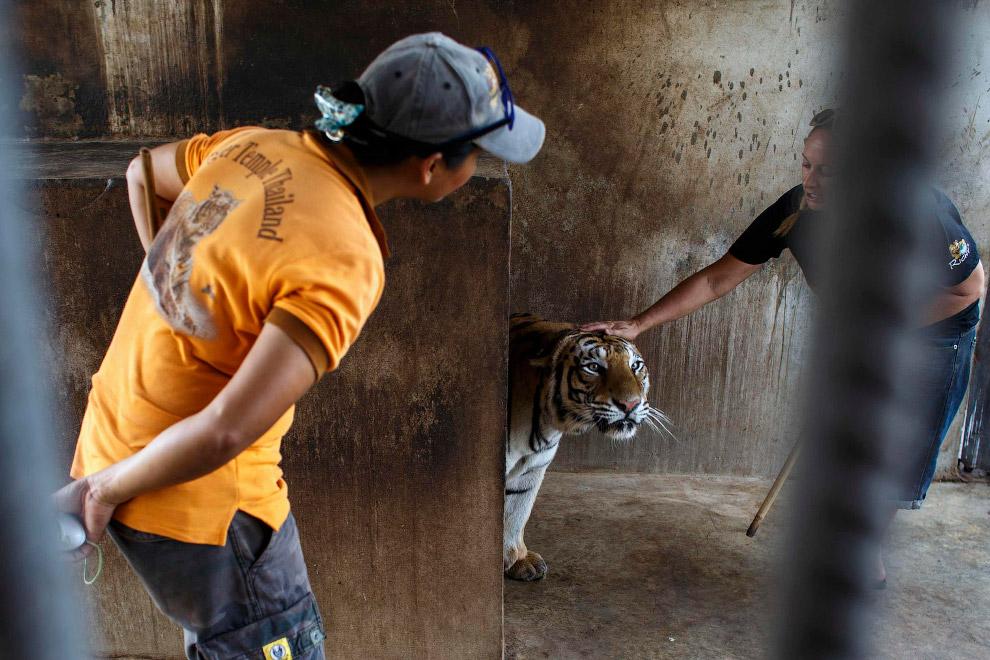 8. Для посетителей Храма Тигров в Таиланде есть несколько программ разной стоимости, которые