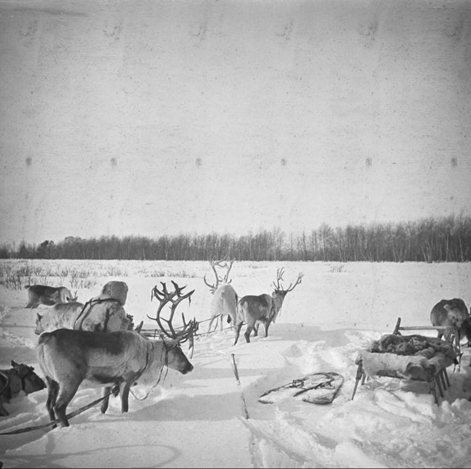 168. Караван оленей