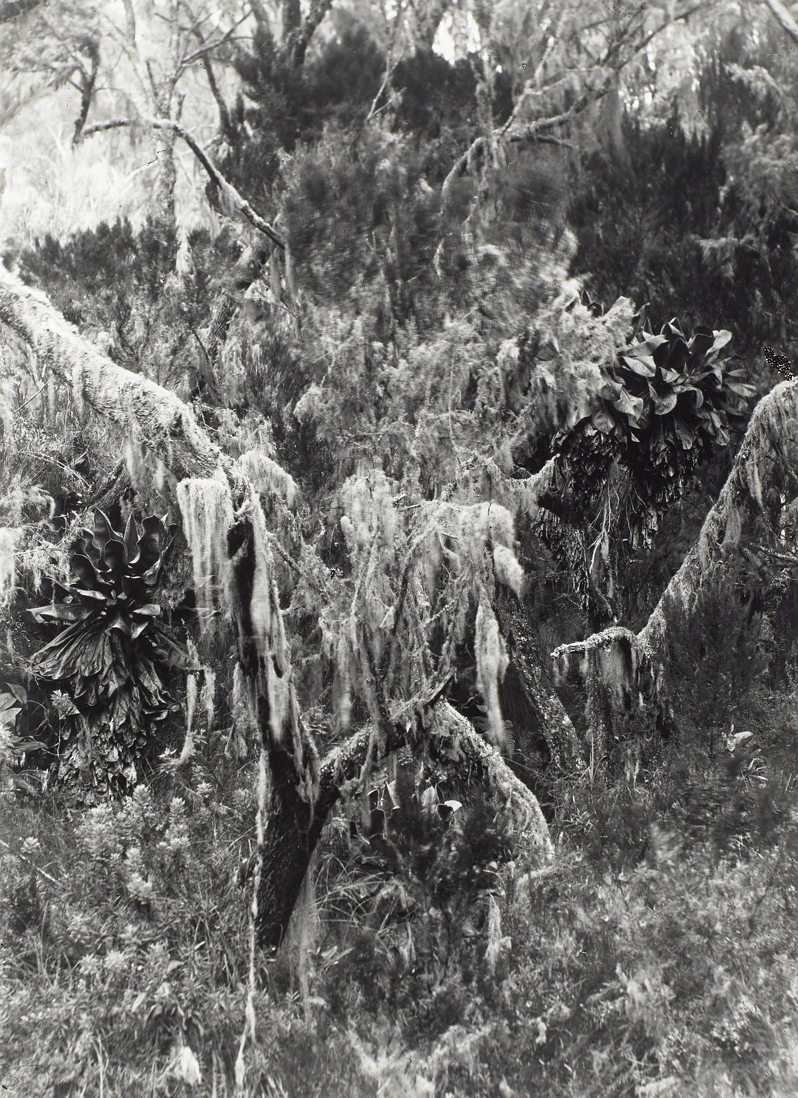 15. Килиманджаро. Горный лес