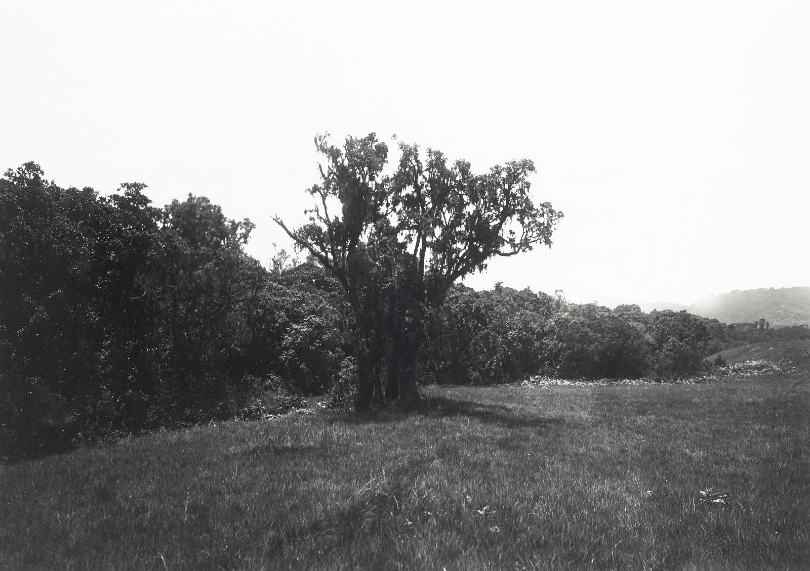 16. Килиманджаро. Горомбо, верхняя граница леса