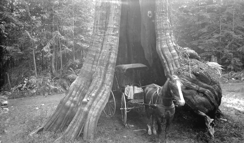 Кедровое дерево 80 футов в окружности, Стэнли-Парк, Ванкувер, Британская Колумбия