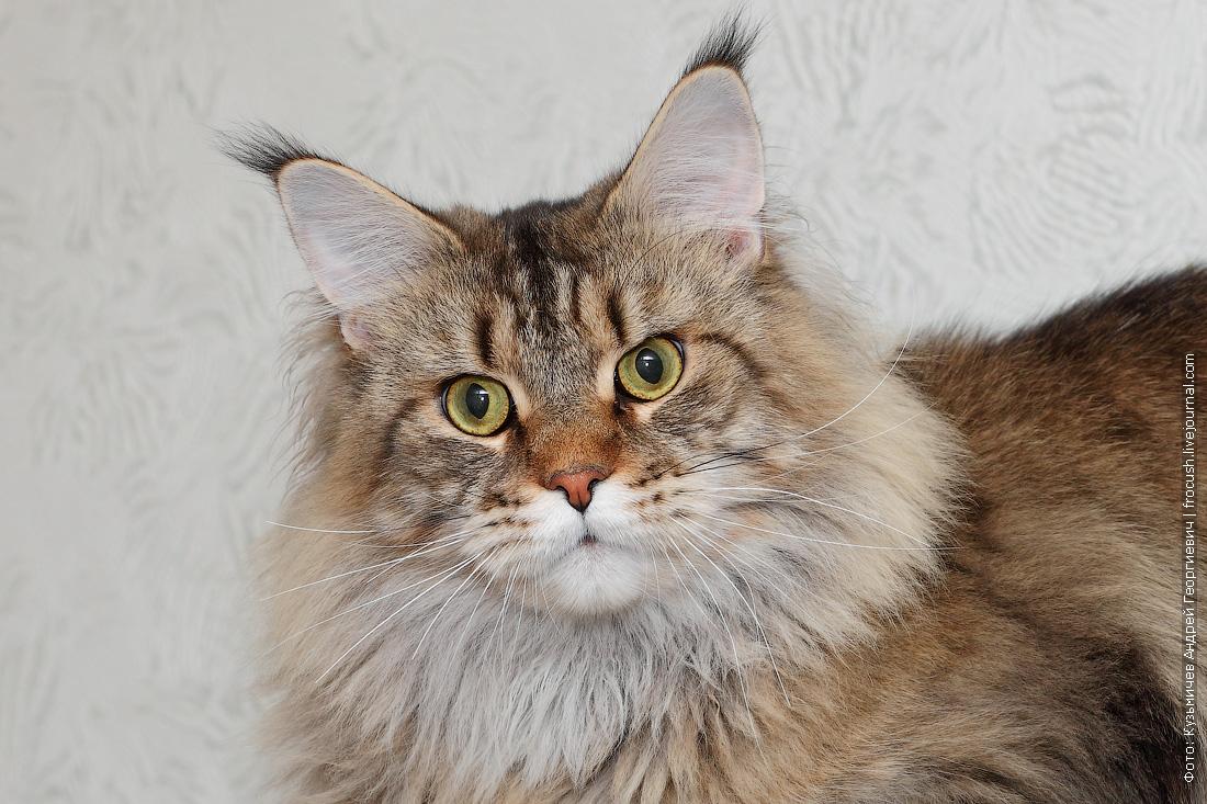 Мейн-кун кот фото