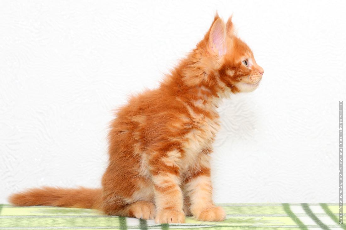 красный котенок Мейн-кун питомник в Москве продажа
