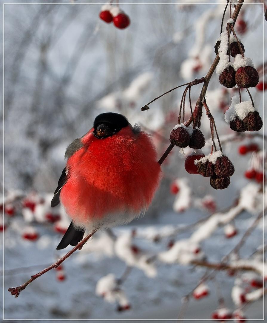 Снегири звуки скачать