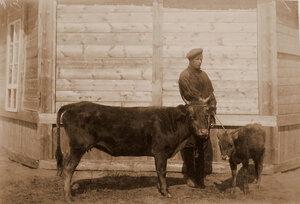 Корова обыкновенная бурятская, с теленком.