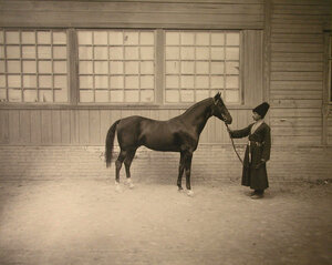 Один из экспонатов выставки - жеребец ахалтекинской породы Закаспийской Земской случной конюшни.