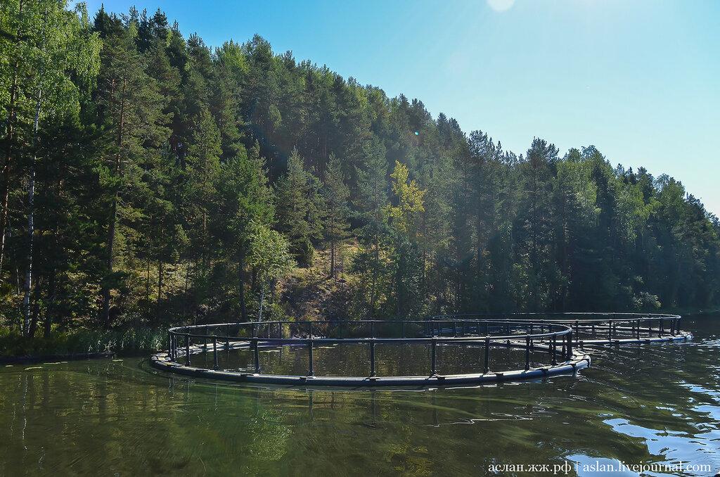 Как выращивают форель в Онежском озере
