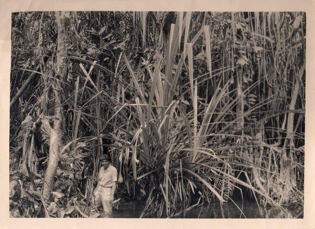 1930. Западная Африка, В зарослях алоэ