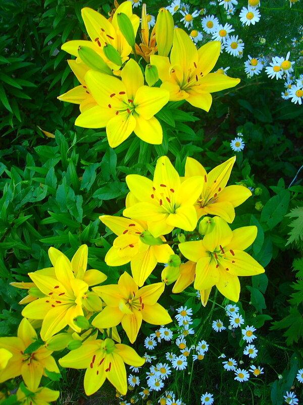 Лето,с.Остров, подворье,райский садик,лилии