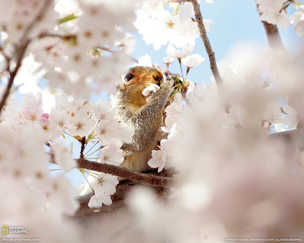 foto-cvetuschey-sakury-3.jpg