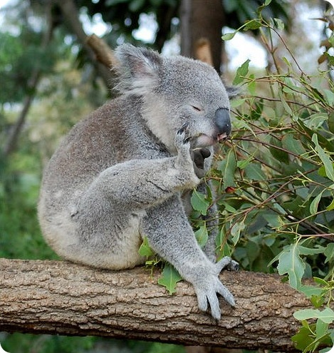 39950303_koala12.jpg