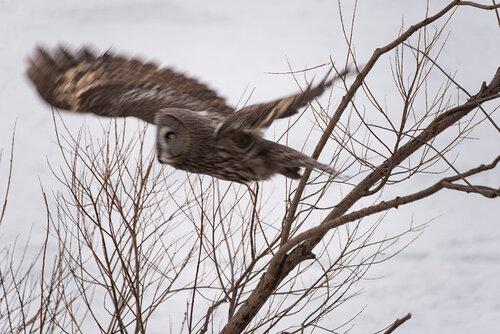 Альбом: Из жизни птиц Семейство: Настоящие совы (Strigidae) Автор фото: Владимир Брюхов