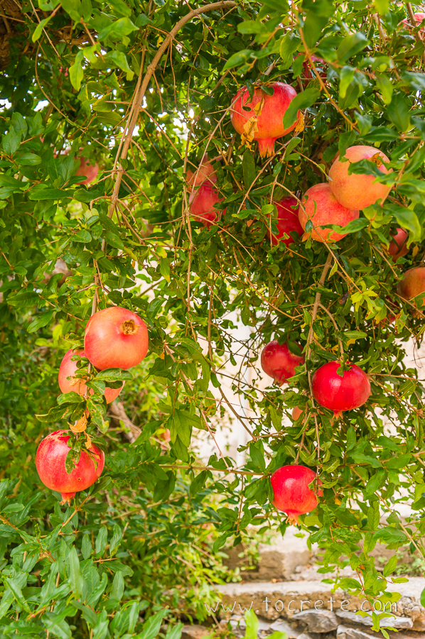 Гранатовое дерево | Pomegranate