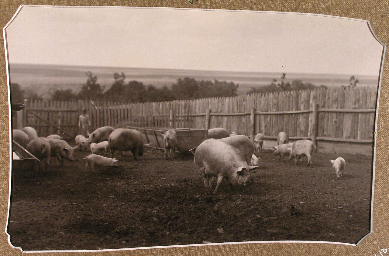 Стадо свиней на ферме, организованной при училище