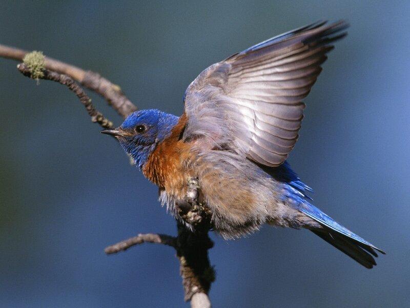 Волшебные птицы (45 отличных фото на рабочий стол) 0 312cd ad564fbe XL