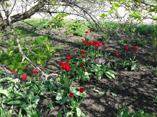 Апрельский тюльпановый рай в Ахтарях. (68).