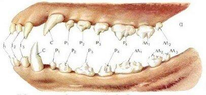 Полный набор зубов взрослой собаки