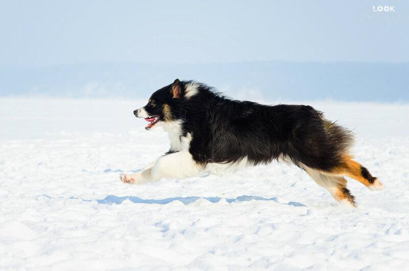 Мои собаки: Зена и Шива и их друзья весты - Страница 8 0_a840c_80f7432c_XL