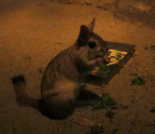 Мексиканский тушкан. Съемка в павильоне ночных животных, почти в полной темноте, без вспышки