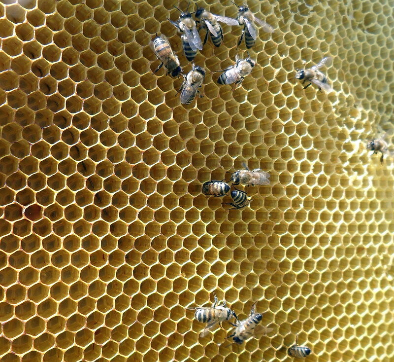Пчёлы 01