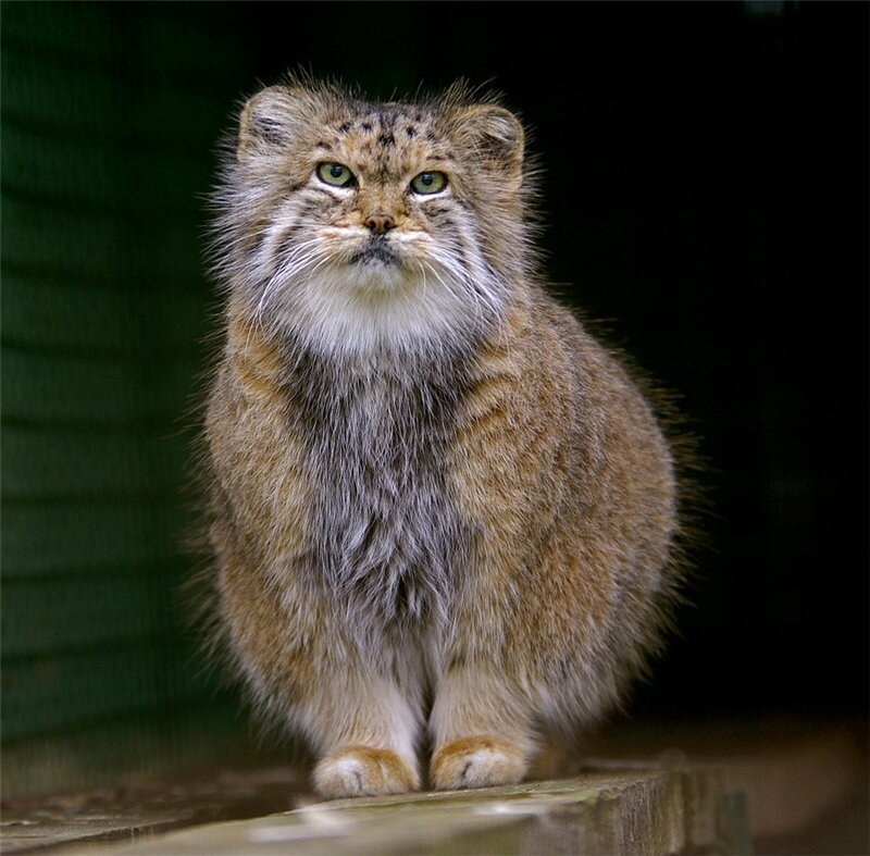 Дикие кошки .Фотограф Stayer
