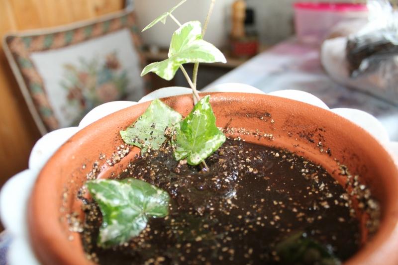 Плющ пестролистный: выращивание, уход