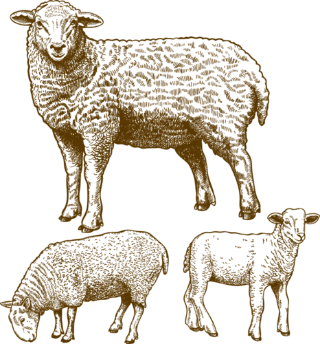 Клипарт овечка