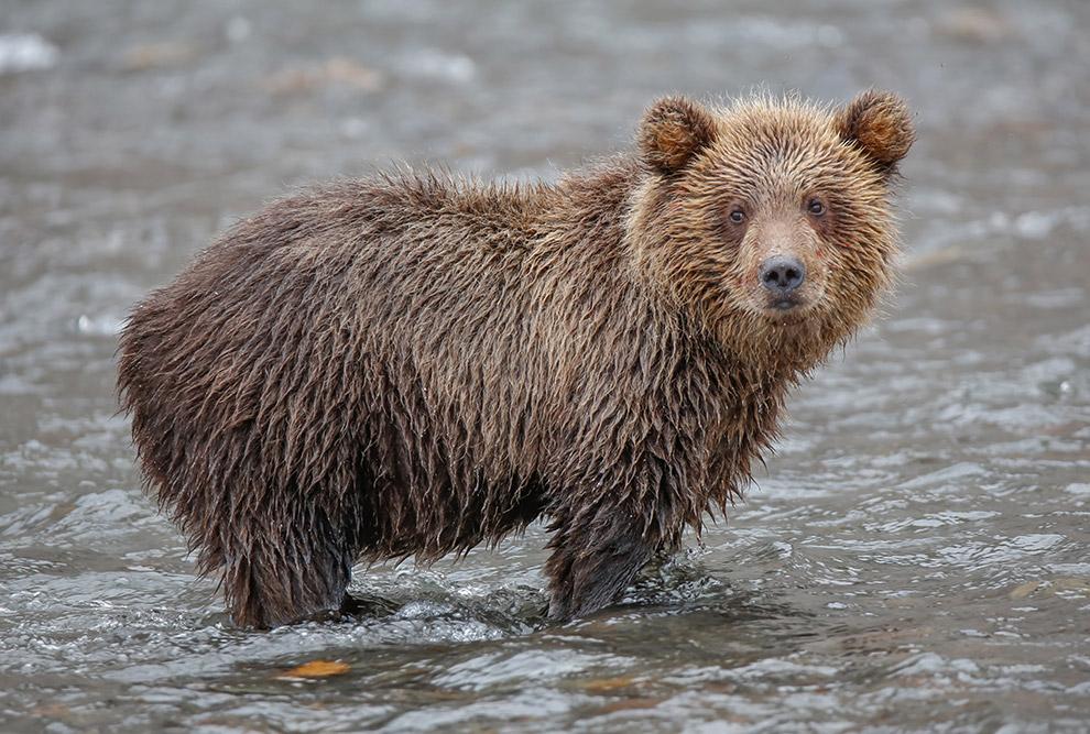 24. Бурые медведи и лосось — не единственные обитатели Курильского озера. Это место трапезы для таки
