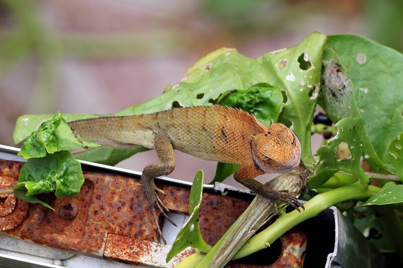 ящерица-калот (Calotes versicolor) греется на солнце на заборе. Ао Нанг, Таиланд.