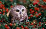 Saw-Whet Owl (Aegolius acadicus) perched on a shrub