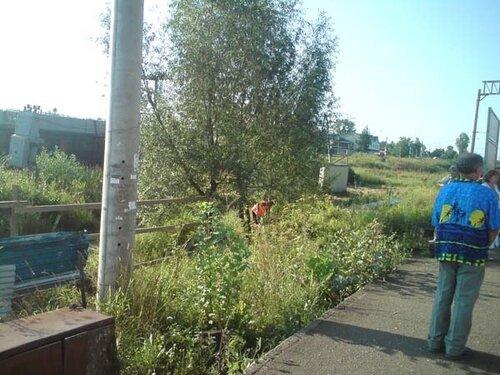 12 августа, вырубка деревьев у платформы