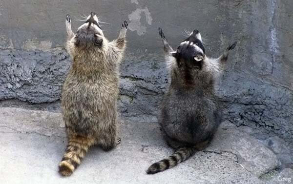 """Указать людей на фото  Комментариев пока нетнаписать новый комментарий   еноты молятся.jpg Из альбома Стив Блум """"Животные"""""""