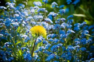 Желтое на голубом (незабудки, одуванчик, цветок)