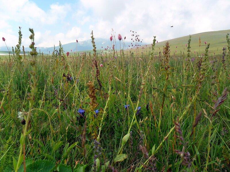 Цветы плато Лагонаки.
