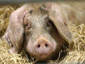 Случаи классической чумы свиней выявлены в трёх охотхозяйствах Приморья